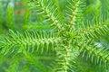 Free Nolfolk Island Pine Royalty Free Stock Photos - 16780898