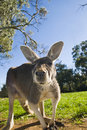 Free Australian Grey Kangaroo Stock Photo - 16781940