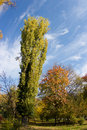 Free Autumn Poplar Tree Stock Photography - 16784912