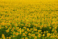 Free Sunflower Field Royalty Free Stock Photography - 16784967