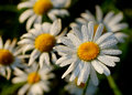 Free Camomile In Early Dew Stock Photos - 16787303