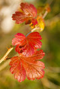 Free Red Leaves Of Gooseberry Bush Royalty Free Stock Photos - 16787728