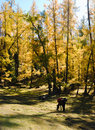 Free Golden Forest Stock Images - 16788274