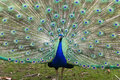 Free Peacock Displaying Tail Feathers Stock Image - 16789171