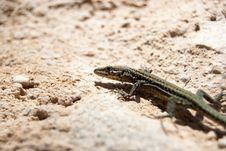 Free Detail Of A Common Lizard Royalty Free Stock Photos - 16780148