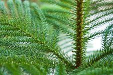 Free Nolfolk Island Pine Royalty Free Stock Images - 16780969