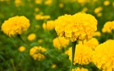 Yellow Marigold Stock Photo