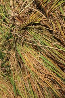 Harvested Rice Royalty Free Stock Photo