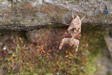 Free Angle Shades (Phlogophora Meticulosa) Stock Photos - 16782913