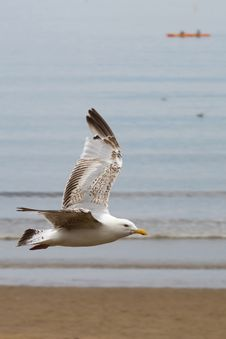 Free Seagull Flying Over The Beach Royalty Free Stock Photography - 16782927