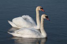 Free Swan Royalty Free Stock Image - 16782966
