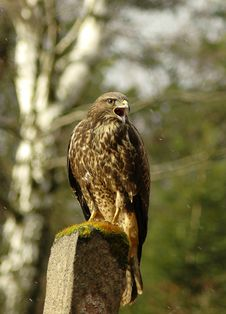 Free Buteo Buteo Stock Photography - 16783212