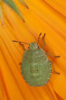 Free Green Shield Bug Nymph Royalty Free Stock Photos - 16783848