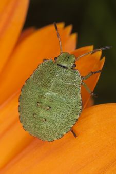 Free Green Shield Bug Nymph Royalty Free Stock Photos - 16783898