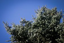 Free Coniferous Tree Royalty Free Stock Images - 16784339