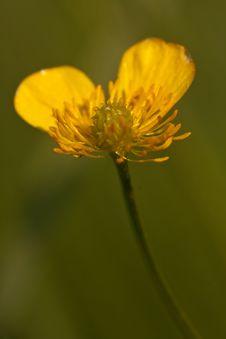 Yellow Buttercup Flower Stock Photo