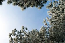Frozen Silver Spruce Stock Images