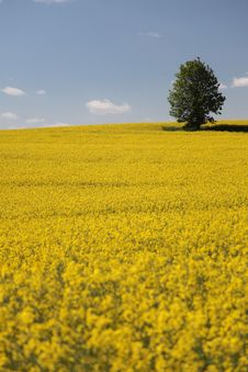 Yellow Field Rape In Bloom With Blue Sky Royalty Free Stock Images