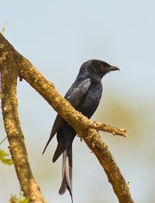 Free A Forked-tailed Drongo Perching On Branch Stock Images - 16784814