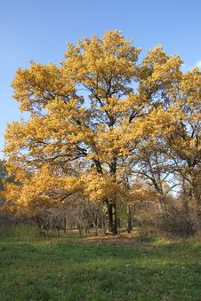 Free Oak Tree In Autumn Stock Photography - 16784882