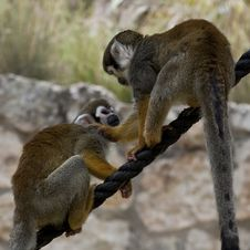 Free Squirrel Monkeys Stock Photography - 16785212