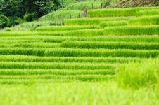 Free Green Rice Field Royalty Free Stock Image - 16785976