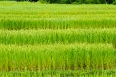 Free Green Rice Field Stock Images - 16786094
