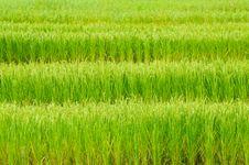 Free Green Rice Field Stock Photos - 16786163