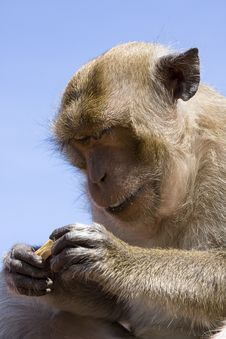Free Macaque Monkey Stock Images - 16787914