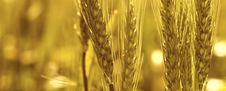 Free Wheat Macro Stock Images - 16787964