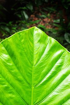 Free Taro Leaf Royalty Free Stock Image - 16788036