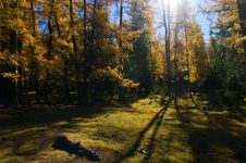 Free Golden Forest Royalty Free Stock Photo - 16788145