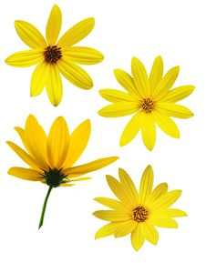 Collection Of Different Sunflower Stock Photos