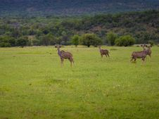 Free Kudu Family On South Africa Stock Photos - 16789343