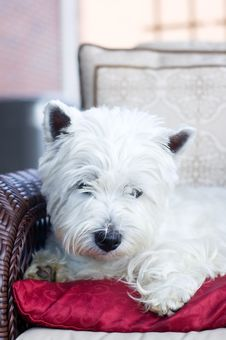 White Terrier Lying On A Red Cushion Stock Photography