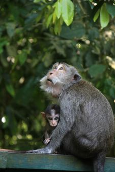 Monkey With Her Baby Stock Photo