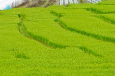 Free Green Rice Field Royalty Free Stock Photo - 16795515