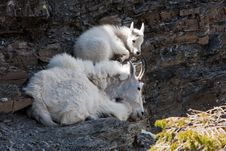 Free Resting Mountain Goats Stock Images - 16795774