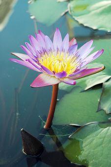 Free Lotus Stock Photo - 16796250