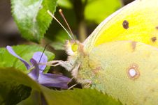 Free Pale Clouded Yellow Close-up / Colias Hyale Stock Images - 16796494