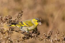 Free Male Siskin In Full Autumn Courtship Plumage Royalty Free Stock Photos - 16796608