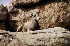 Free Big Horn Sheep Royalty Free Stock Photo - 16797035