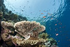 Free Pristine Tropical Table Coral Formation. Royalty Free Stock Photo - 16797045
