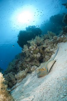 Free Bluespotted Stingray Resting On A Coral Reef. Stock Photo - 16797550