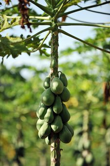 Free Papaya Tree Stock Photo - 16797560