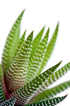 Free Aloe Vera Leaves Royalty Free Stock Images - 16798149