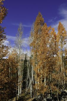 Free Red Aspens Leaves Stock Photo - 16799780