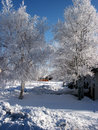 Free Pict 5456 Birch Trees Covered In Early Morning Frost Royalty Free Stock Image - 1685886