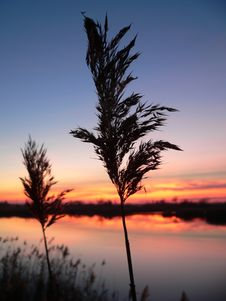 Free Reed Silhouettes Stock Images - 1680094