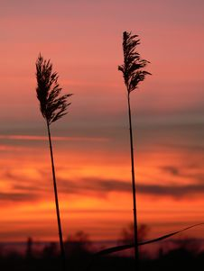 Reed Silhouettes Royalty Free Stock Image